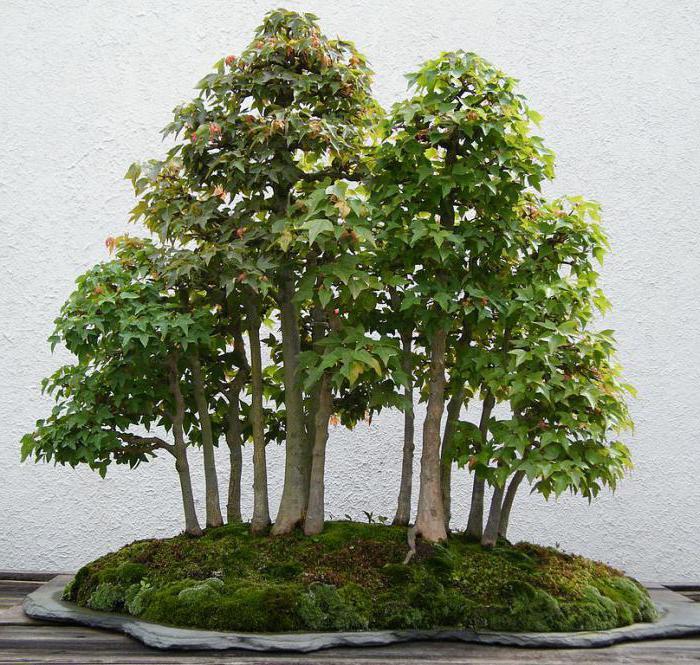 Бизнес-идея выращивания японского дерева бонсай