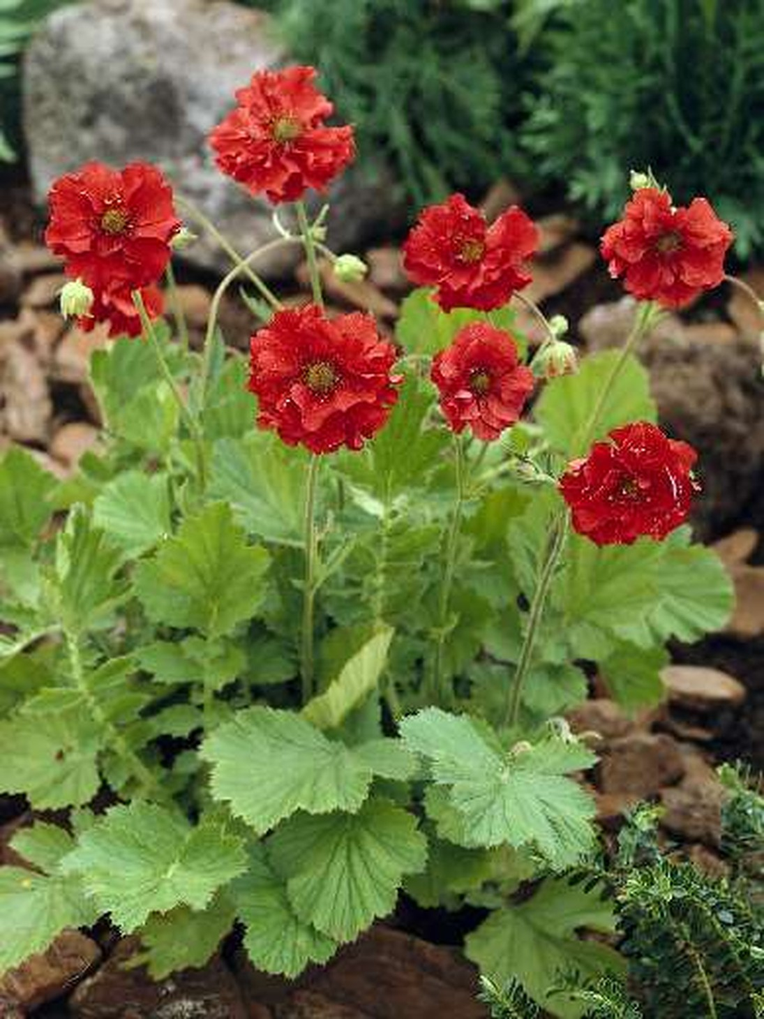 Многолетние садовые красные цветы фото