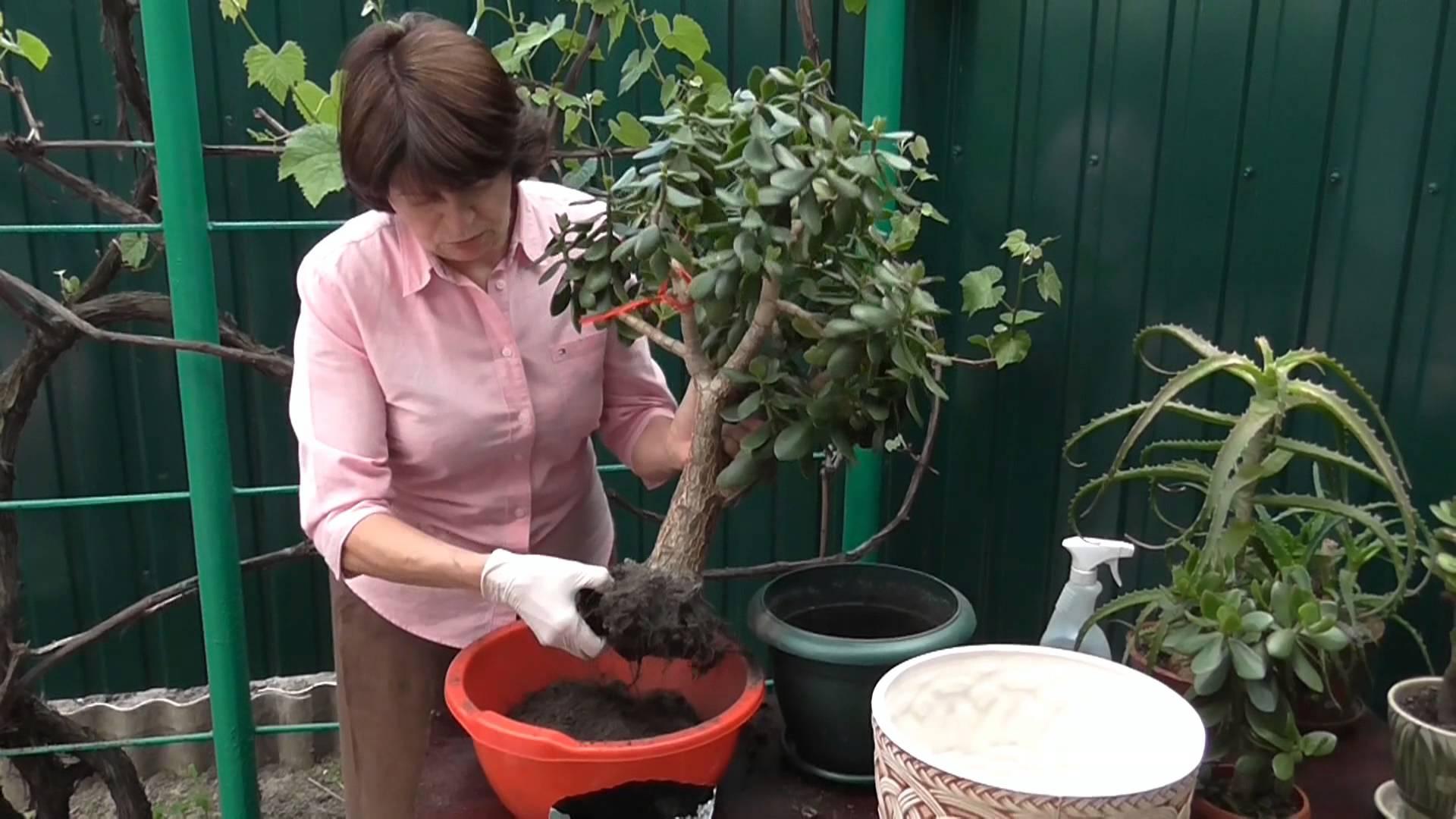 Как пересаживать цветы комнатные правильно 45