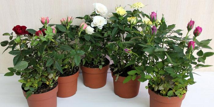 Какие цветы обязательно должны быть в доме - ЗолушкаNew 6