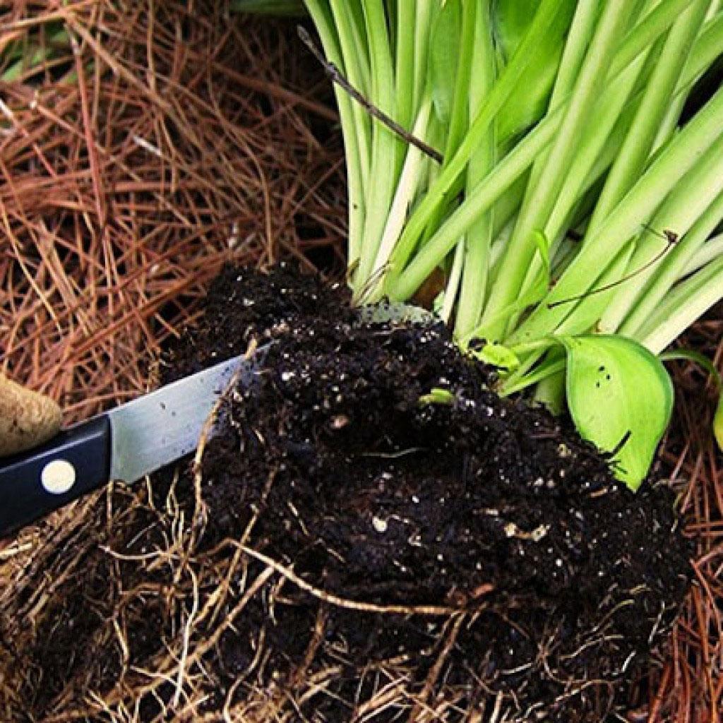 Umpflanzung von mehrjährigen Blumen, wenn. Transplantation von ...